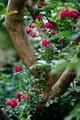 庭風景-赤いツルバラ_210523