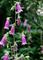 庭風景-ホタルブクロ_210525