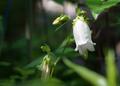 庭風景-白ホタルブクロ_210525