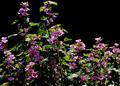 庭風景-マロウ_210525