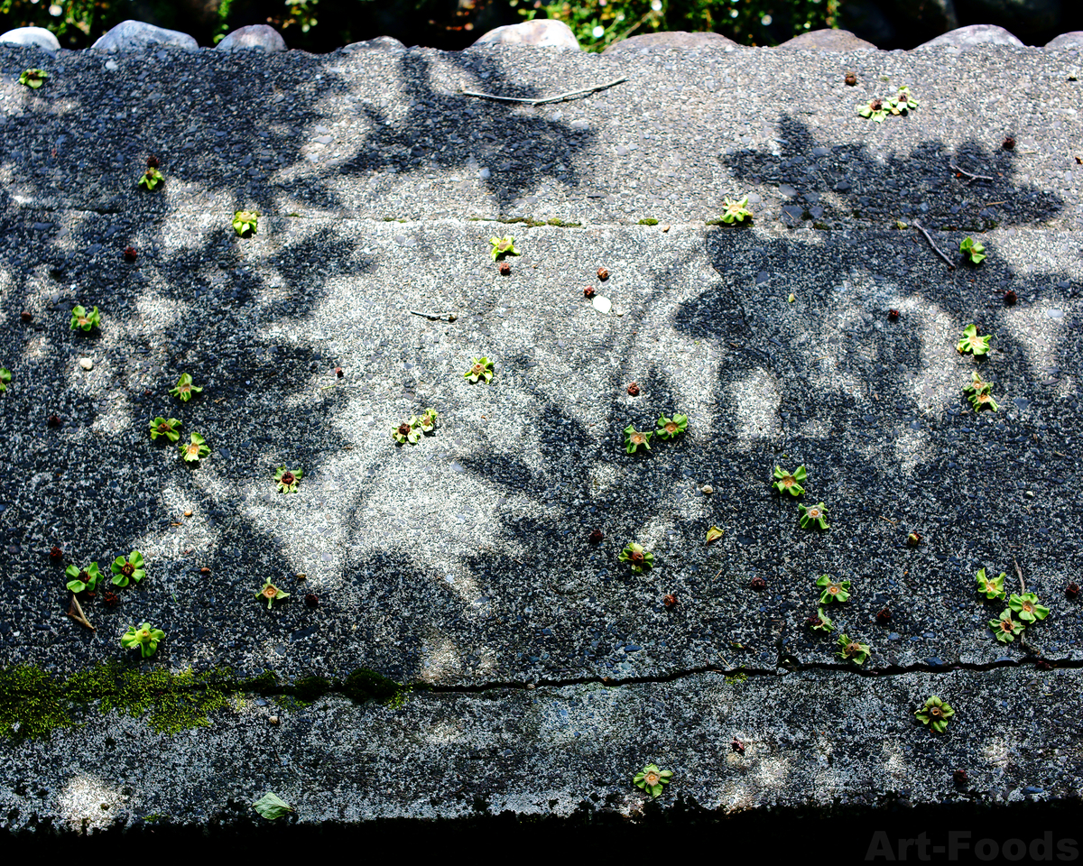 庭風景-柿の木陰_210525