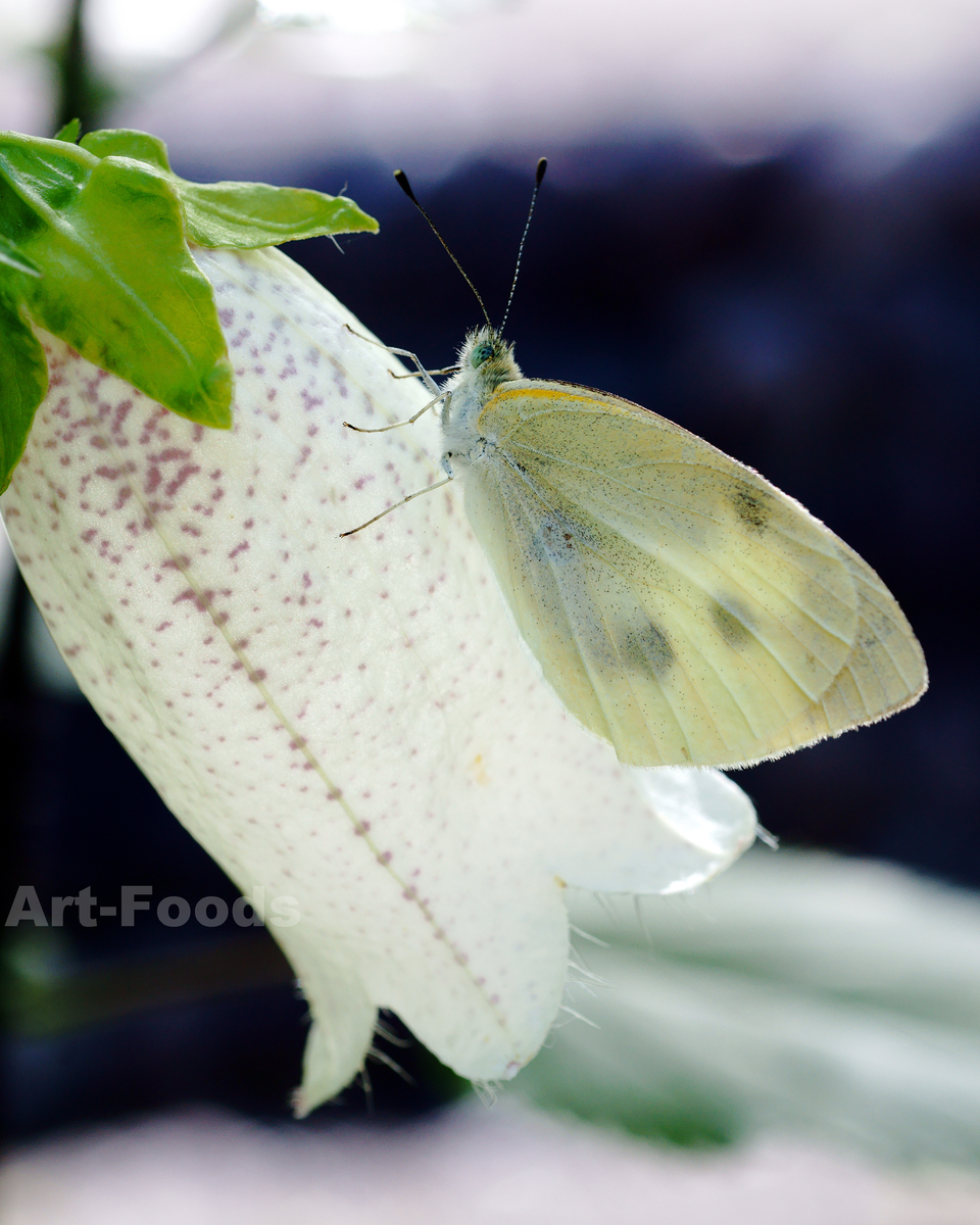 庭風景-白ホタルブクロと紋白蝶_210526