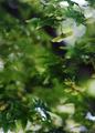 雨の庭風景-楓のブーメラン_210527