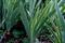 庭風景-ジャーマンアイリスの葉_210530