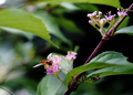 庭風景-ムラサキシキブの花とホソヒラタアブ_210607