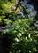 庭風景-日没前のセージとホタルブクロ_210607