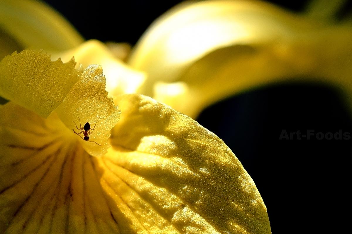 庭風景-木漏れ陽の黄菖蒲_210525