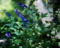 庭風景-セージ_210609