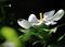 庭風景-クチナシの花_210610