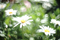 庭風景-マーガレット_210611