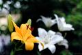 庭風景-黄色の百合_210612