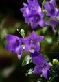 雨の庭風景-桔梗_210701