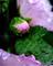 庭風景-タチアオイ_210705