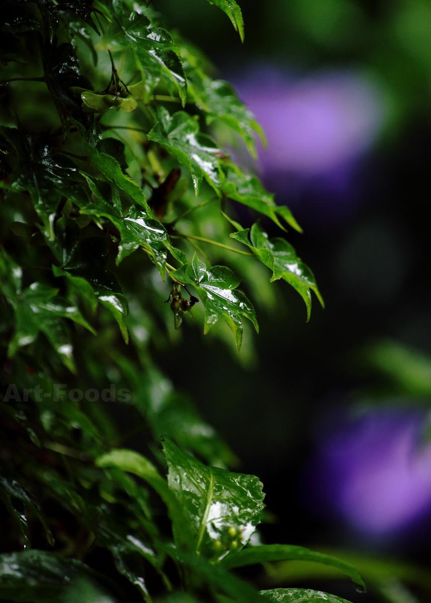 雨の庭風景-濡れる楓の葉_210708
