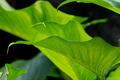 庭風景-カラーの葉_210713