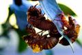 柚子の枝にセミの抜け殻_210718