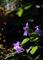 庭風景_梅雨明けの桔梗_210717