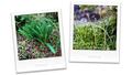 庭風景_リコリスの花芽_210718