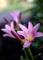 庭風景_リコリスの開花_210721