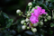 雨の庭風景-百日紅_210809