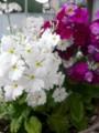 [plant][white][purple][サクラソウ科]プリムラ・マラコイデス 4.24.2010