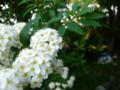 [plant][white][バラ科][insect]コデマリ+ホソヒラタアブ