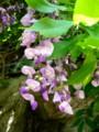 [plant][purple][マメ科]藤の花(ノダフジ)