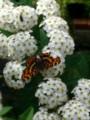 [plant][white][バラ科][insect]サカハチチョウ+コデマリ