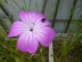 [ナデシコ科][plant][pink][insect]アグロステンマ+ハムシ科の昆虫