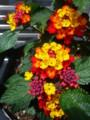 [plant][red][yellow][クマツヅラ科]ランタナ