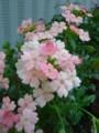 [plant][pink][クマツヅラ科]バーベナ