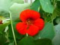 [plant][red][ノウゼンハレン科]キンレンカ(ナスタチウム)