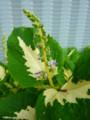 [plant][シソ科]コリウスの花