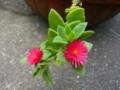 [plant][pink][ツルナ科][ハマミズナ科]ハナツルソウ(花蔓草)