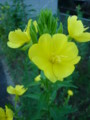 [plant][yellow][アカバナ科]マツヨイグサ