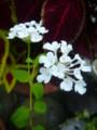 [plant][white][クマツヅラ科]コバノランタナ