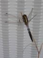 [insect]シオカラトンボ(オス)