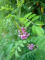 [plant][pink][マメ科]コマツナギ(駒繋ぎ)