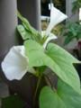 [plant][white][ヒルガオ科]アサガオ
