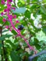 [plant][ヤマゴボウ科]ヨウシュヤマゴボウ(洋種山牛蒡)