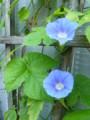 [plant][blue][ヒルガオ科]アサガオ