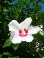 [plant][white][アオイ科]ムクゲ(木槿)
