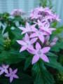 [plant][pink][アカネ科]ペンタス