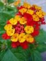 [plant][yellow][red][クマツヅラ科]ランタナ