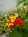 [insect][plant][yellow][red][クマツヅラ科]ランタナとチョウ(ヤマトシジミ)