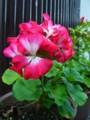 [plant][pink][フウロソウ科]ゼラニウム