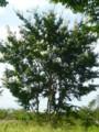 [plant][white][ミソハギ科]サルスベリ(百日紅)の白い花 富田林市にて