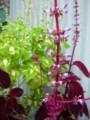[plant][purple][シソ科]コリウス