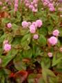 [pink][plant][タデ科]ヒメツルソバ 馬見丘陵公園にて
