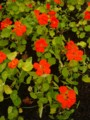 [plant][orange][ノウゼンハレン科]ナスタチウム(キンレンカ) 馬見丘陵公園にて